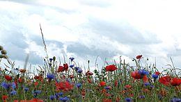 Auf einer Wiese wachsen Klatschmohn und Kornblumen. Im Hintergrund sind Wolken zu erkennen.